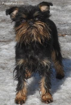 Brussels Griffon Pictures (f4b94x9gr3r)