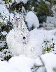 Lapin blanc dans la neige