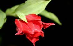 WALLPAPERS HD: Red Flower in Black