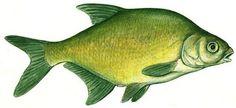 fisk - Google-søgning