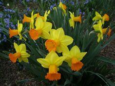 Daffodils, Daffodil Flowers, Perennial Bulbs, Garden Club, Event Calendar, Perennials, Solmate Socks, United States, Organizations