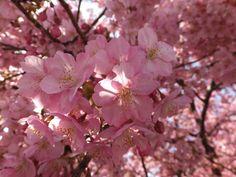 満開に咲く河津桜のアップ