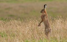 """Primeiro lugar - lebre por Stuart Scott:.. """"Eu vi a lebre perto da borda de um campo por um muro de pedra perto Blainslie na Scottish Borders De alguma forma ele me ouviu muito tempo antes de eu chegar perto e havia se afastado Quando eu olhei eu vi de pé sobre as patas traseiras tentando obter uma boa visão de mim. """""""