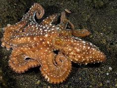 Starry Night Octopus, Komodo, Indonesia
