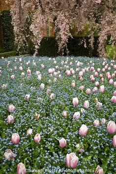Bulbs and annuals companion plants; tulips (Tulipa 'Ollioules') and forget-me-nots (Myosotis 'Mountain Meadow') at Filoli garden