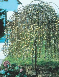 Botanical Name: Salix caprea 'Pendula' Common Name: Weeping Pussy Willow Flowering: Spring Exposure: Full sun Hardiness: Zone 3 Height: 8' Features: Small, umbrella-shaped tree with pinkish-gray pussy willow catkins that appear before the foliage.