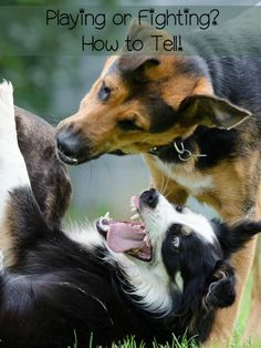 Your time at the dog park will go much smoother if you know how to tell if your dogs are playing or fighting. Check out the signs of both behaviors!