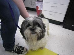 98232- Iggy is an approximately 4 yr old male Lhasa Apso. He came to us as a stray so we do not have any history on him. He is a handsome guy and very friendly. Iggy currently resides in our main kennels.