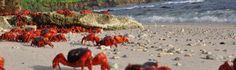 Migrating red crabs
