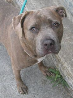 Brooklyn Center  CHUNJAE - ID#A0972111  FEMALE, BR BRINDLE / BLACK, PIT BULL MIX, 5 yrs OWNER SUR - EVALUATE, NO HOLD Reason PERS PROB https://www.facebook.com/photo.php?fbid=643890385623844=pb.152876678058553.-2207520000.1374503607.=3
