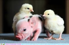 Look at the fuzzy, pink piglet! The baby chicks are pretty cute, too.