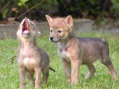 Cynthia Davies - Baby Wolf Cubs
