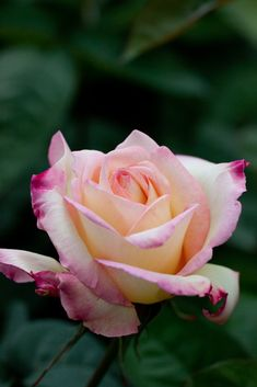 'Garden Party' | Hybrid Tea Rose. Herbert C. Swim (United States, 1959). | Flickr - © Yoko Nekonomania