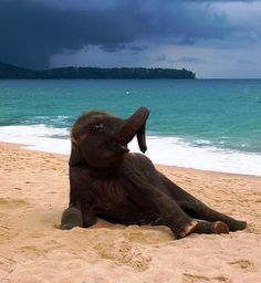 Cute Baby Elephant On Beach In Phuket, Thailand Help us gain media sponsorships by liking us on FB. Keep up with the news, read The Elephant Daily for ! Baby Animals, Funny Animals, Cute Animals, Animal Memes, Wild Animals, Beautiful Creatures, Animals Beautiful, Beaches In Phuket, Elephants Playing