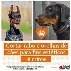 Lu Amorim - Google+►https://plus.google.com/u/0/collections ↻#exclusiv@luamorim↺ Cortar rabo e orelhas de cães para fins estéticos é CRIME. Delegacia Especializada em Crimes Contra a Fauna  Belo Horizonte: (31) 3212-1339 Minas Gerais #justiça #dignidade #respeito aos #animais  Maus-tratos aos animais é #CRIME  #DENUNCIE