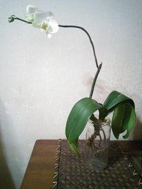 胡蝶蘭の空中栽培 by みほりん - コチョウラン(胡蝶蘭)の栽培記録、育て方「そだレポ」 | みんなの趣味の園芸