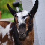 Goat Baby Photo Blas