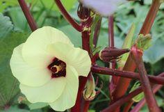 Morning exercise: harvesting peas and okra Okra, Harvest, Seasons, Garden, Flowers, Poster, Pictures, Photos, Garten