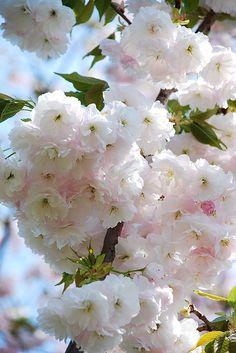 Cherry blossoms softness