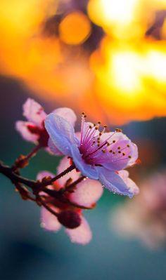 전 세계에서 모은 벚꽃 사진 35(화보)