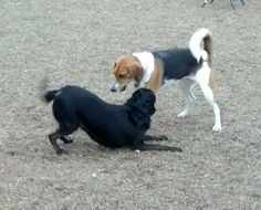 I'm so happy! Penny is actually initiating interaction! She's playing with Kami Sue one of GSHS former resident.