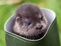This otter's got the boot!