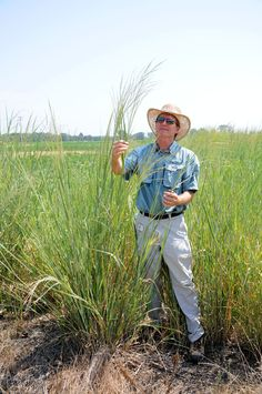SWITCHGRASS VARIETIES -- Charles P. West, UA professor of crop, soil and environmental sciences, shows a switchgrass plant in a variety test plots at the University of Arkansas Division of Agriculture's Pine Tree Research Station near Colt.