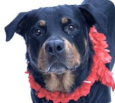 Rottweiler Mix Dog for adoption in Whitestone, New York - Alicia (Rottie)