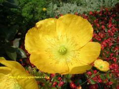 poppy flower picture