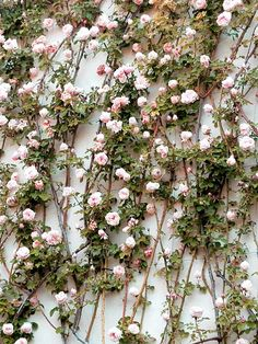 This is some of the nicest rose garden ideas you could find from Simphome. This list is meticoulusly researched from those who have rose passion a lot. Rose Vines, Love Flowers, Beautiful Flowers, Rose Foto, Holiday Boutique, Rose Wall, Wall Of Roses, Rosa Rose, Colorful Roses