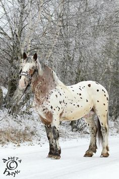 bay near leopard - Noriker stallion White Tiger<<<< Clara's second horse, usually used more for packing across wilderness than riding, but can also be ridden under saddle