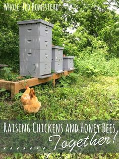 Chicken Coop - Raising Chickens and Honey Bees Together by Whole-Fed Homestead Building a chicken coop does not have to be tricky nor does it have to set you back a ton of scratch. Backyard Beekeeping, Chickens Backyard, Keeping Chickens, Raising Chickens, Raising Quail, Gallus Gallus Domesticus, Raising Bees, Building A Chicken Coop, Mini Farm