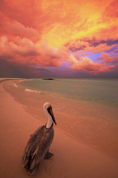 Mexican Pelican ~ Sunset at the beach, Mexico  ~ By Joel Durbridge~~