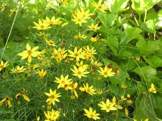 ":< END OF THE SEASON SALE! >:<   >:<50% OFF>:<    Coreopsis 'Threadleaf' ""Moonbeam""  Coreopsis vercillata  Hardy to zone 4  18"" tall Drought tolerant"