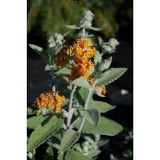 Buddleja Davidii, Potted Plants, Plant Pots, Felt Leaves, Butterfly Bush, Growing Plants, Shrubs, Greenery, Flowers