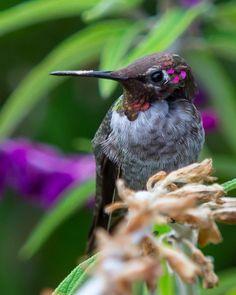 Hummingbirds - Edible Frog