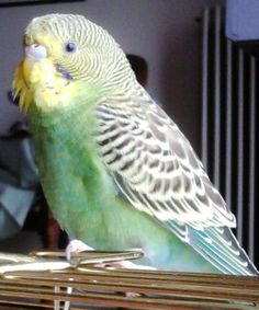Buzz my female budgie