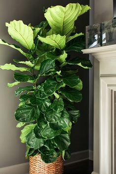 Fiddle fig house plant. A tree ever home should have! Waiting on Martha