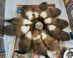 """Sheltie Flower//// This is truly what """"a herd"""" of youngsters look like when you feed using the circular bowl. Funny, I always had at least 1 kid sitting on that little """"top"""" in the very center of the """"flower""""! Rough Collie, Collie Dog, Pet Dogs, Dog Cat, Sheep Dogs, Doggies, Cute Puppies, Dogs And Puppies, Animals And Pets"""