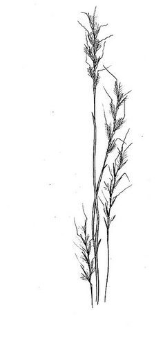 prairie grass tattoo research  switchgrass  little