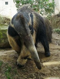 anteater takes a bow | Flickr - Photo Sharing!