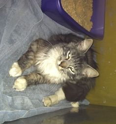 Available for adoption - Charlotte is a female cat, Domestic Long Hair, located at Santa Paula Animal Rescue Center in Santa Paula, CA.
