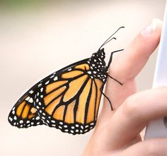 Feds will consider placing monarch butterfly on endangered list