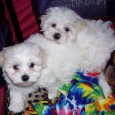 Lola and Lacy. Maltese sweethearts <3