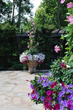 #Mandevilla is a genus of tropical and subtropical flowering vines belonging to the dogbane family, Apocynaceae. It was first described as a genus in 1840. A common name is #rocktrumpet. Via: http://deborahsilver.com/blog/