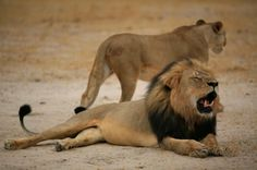 Prosecute Walter James Palmer to the fullest extent of the law hunting lion in Zimbabwe! | YouSignAnimals.org