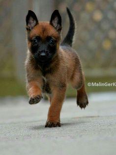 Belgian Malinois puppy Q belleza verdad? Cute Puppies, Cute Dogs, Dogs And Puppies, Doggies, Belgian Malinois Puppies, Belgium Malinois, Dog Spay, Belgian Shepherd, Belgian Dog