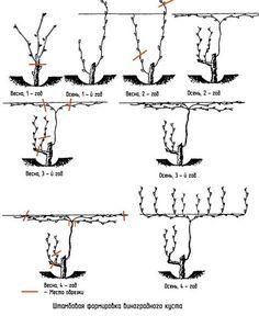 Схема Штамбовового формирования виноградного куста