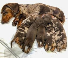 Deaf dogs are rewarding and enrich life like any other dog. But there are some special considerations with providing a home to a deaf dog. Cute Baby Dogs, Cute Baby Animals, Cute Puppies, Dogs And Puppies, Dapple Dachshund, Dachshund Puppies, Dachshund Love, Chihuahua Dogs, Hot Dogs