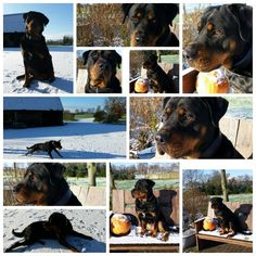 Gemaakt door Photo Grid. Rottweiler / Boerboel #1.5 years#55 kilo#Dolly # Android https://play.google.com/store/apps/details?id=com.roidapp.photogrid iPhone https://itunes.apple.com/us/app/photo-grid-collage-maker/id543577420?mt=8